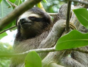 Pygmy_three_toed_sloth_Peter_Sundbergweb