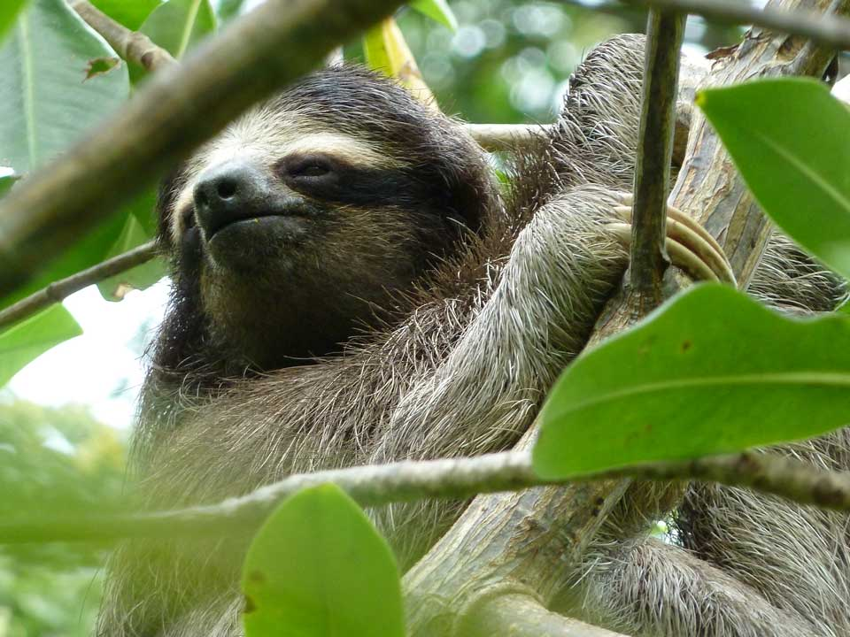 pygmy three toed sloth analysis