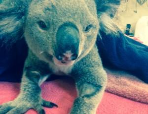 Koalas_chlamydia_Courtney_Waugh02