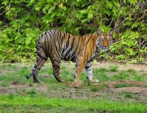 Human-Tiger Conflict