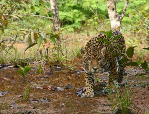 Jake_Bicknell_Stumbling across a Jaguar in Guyana