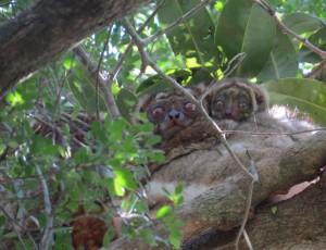 Woolly lemur family- Kathryn Scobie