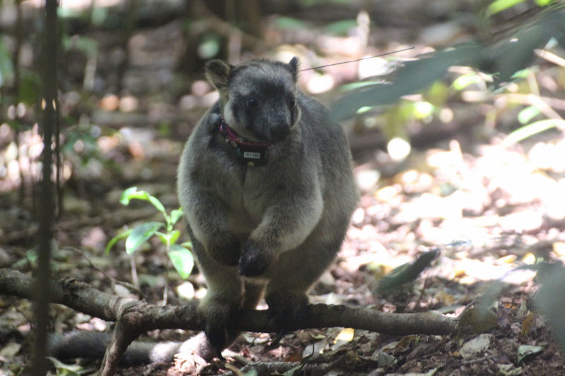 """kangaroos essay Examples of convergent evolution between placentals and marsupials are the extinct tasmanian """"wolf"""" (a very wolflike marsupial), marsupial """"moles"""" (living molelike marsupials that burrow in the sandy deserts of australia), and kangaroo rats (north american rodents that hop on their hind legs like kangaroos."""