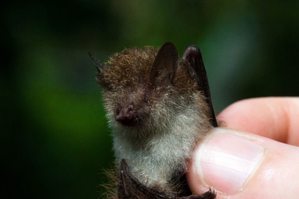 dave bennett the tropical bats of sabah discover