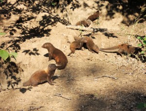 Mongoose group