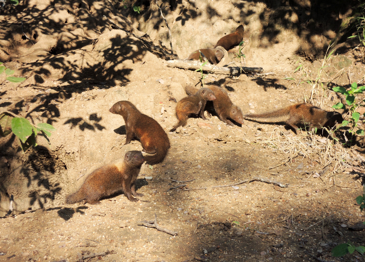 amy morris drake the dwarf mongoose discover conservationdiscover